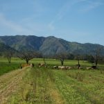 photo of livestock and cover crops in california