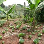 Matooke-cabbage intercrop in Nkokonjeru, Uganda