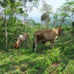 Silvopastoral system in Lempira Dept, Honduras