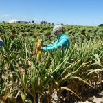 Taking soil cores at the Limited Irrigation Research Farm (LIRF) near Greeley, Colorado