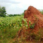 Termite mount in cassava, Uganda