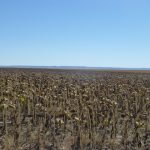 Sunflowers ready to harvest in eastern Nebraska