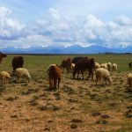 Llamas in the Altiplano of Bolivia